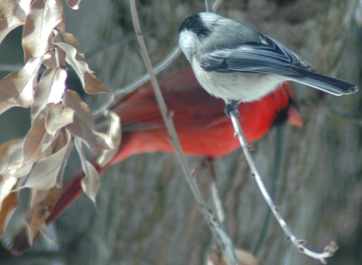 Chickadee with Cardinal