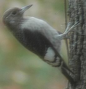 Unknown Pecker